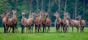red deer at Stourton Estates