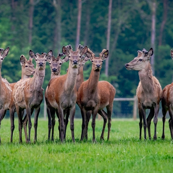 red deer at Stourton Estates
