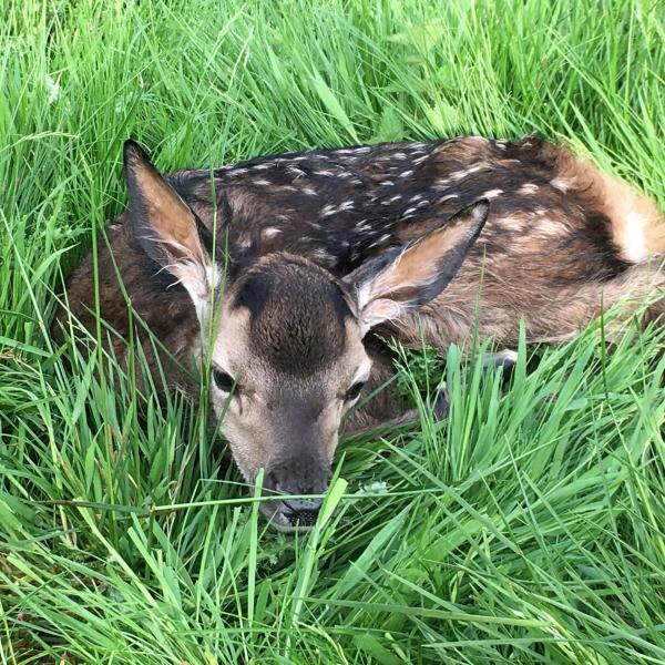 Deer Calves at Stourton Estates